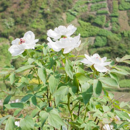 paeonia: White Paeonia Stock Photo