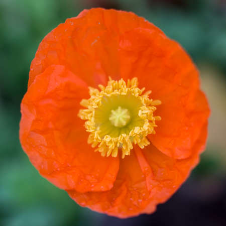 corn flower: flower of corn poppy