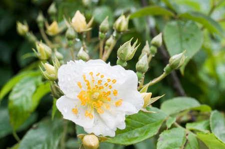 flower of rosa multiflora