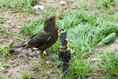 thrush: Tibetan thrush, shot at tibet china.