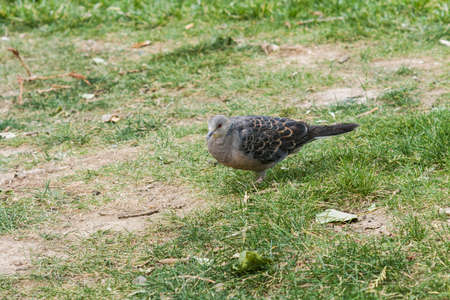 turtle dove: Turtle dove
