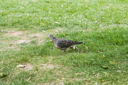 turtle dove: Turtle dove on grassland Stock Photo