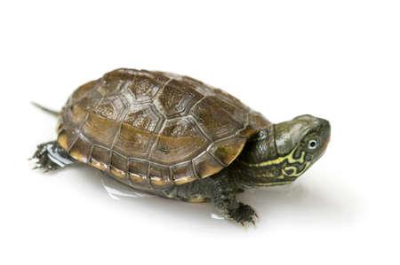 turtle isolated on white Banco de Imagens