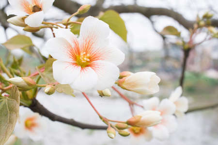 tung tree flower blossoms in spring Banco de Imagens