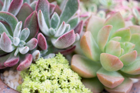 abreast: succulent plants