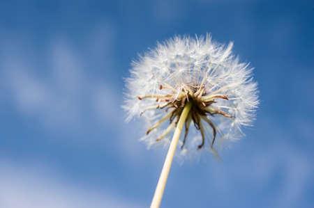 shot: dandelion by macro shot Stock Photo