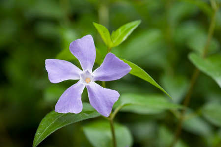 flower of vinca major Stock Photo