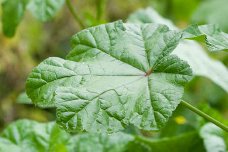 leaf of Chinese mallow