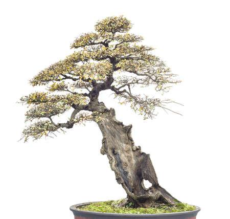 chinese old bonsai Banco de Imagens