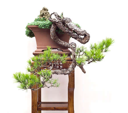 chinese old bonsai 写真素材 - 95287596