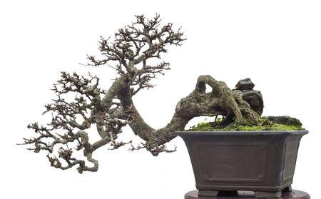 chinese old bonsai 写真素材 - 95287918