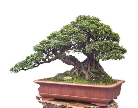 chinese old bonsai 写真素材