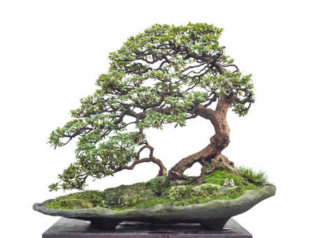 chinese old bonsai Stock Photo