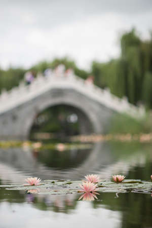 Water lily in a chinese garden