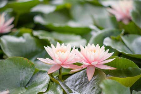 Water lily in summer Banco de Imagens