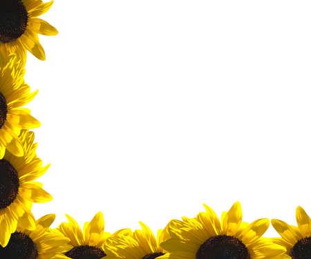 sunflower field: A border of sunflower Stock Photo