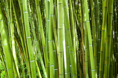 Lush and dense green bamboo grove in a park photo