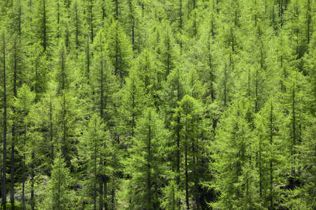 coniferous forest: Full image of a coniferous trees in the forest