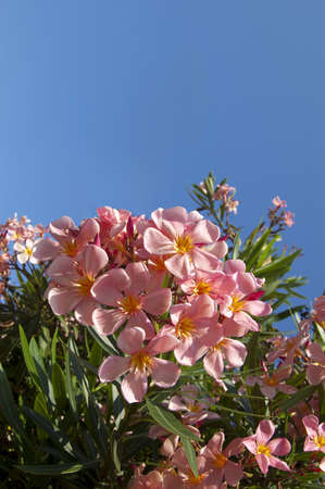 Many pink oleander flower isolated on a blue sky photo