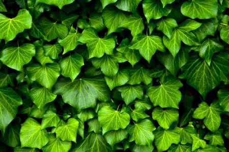 tileable: Many leafs of ivy cover a wall Stock Photo