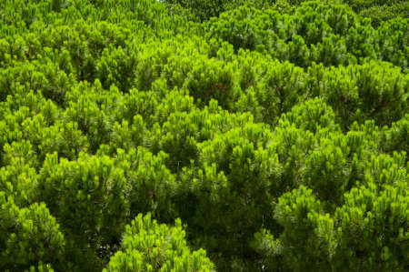 Full image of a coniferous trees in the forest photo