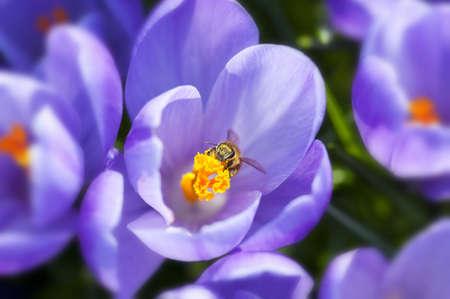 crocus: Purple crocus flowers in the spring time