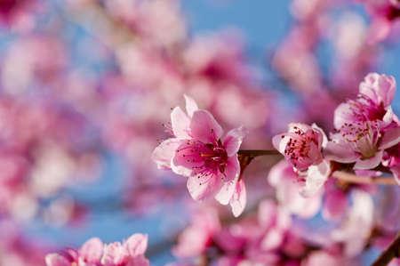 Schöne rosa Blüten Pfirsich hautnah in einem Garten