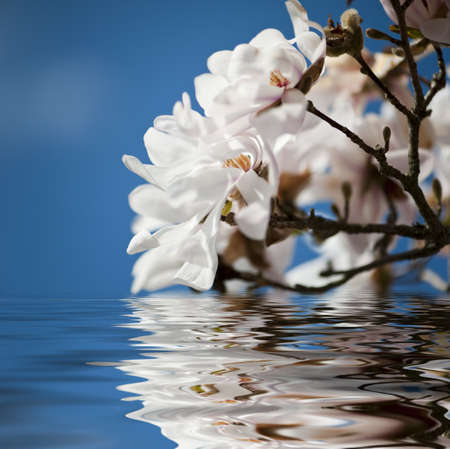reflected: White magnolia flowers close up reflected in the water Stock Photo