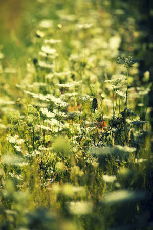 Summer meadow with blooming  white Clover and blur effect Stock Photo - 14843920