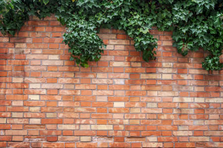 An Ivy plant on a brick wall photo