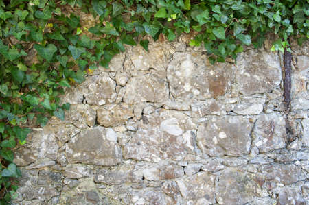 An Ivy plant on a stone wall photo