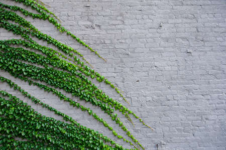 The Green creeper plant on a old brick wall photo