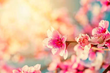 sunshine background: Beautiful pink peach flowers close up in a garden