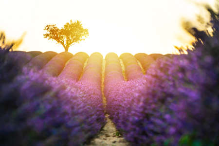 Closeup lavender field at sunset with lonely tree in background. Valensole Plateau, Provence Stockfoto