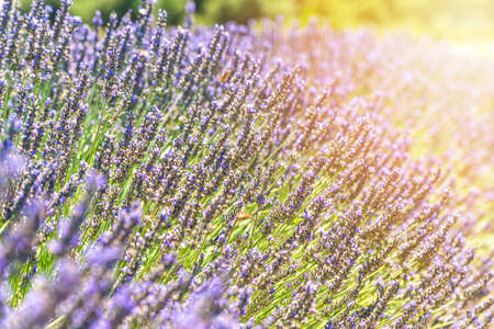 Closeup bushes of lavender flowers in summer near Valensole, Provence, France - background
