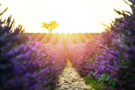 Closeup lavender field at sunset with lonely tree in background and sunrise. Valensole Plateau, France Stockfoto