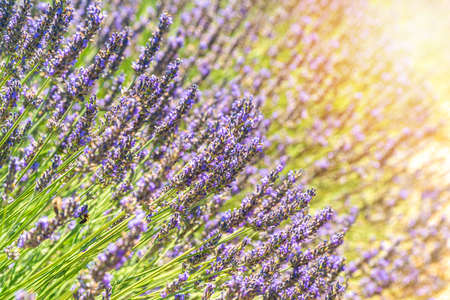 Closeup bushes of lavender flowers in summer near Valensole, Provence. Stockfoto