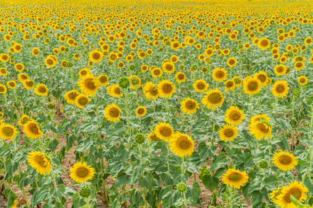 Field of beautiful blooming sunflowers near Valensole