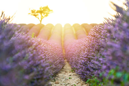 Closeup lavender field at sunset with lonely tree in background. Valensole Plateau, Provence, France Stockfoto