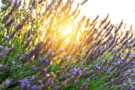Closeup lavender field summer sunset landscape in Valensole, Provence