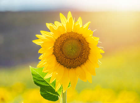 Beautiful sunflower in a field in Valensole, Provence, France