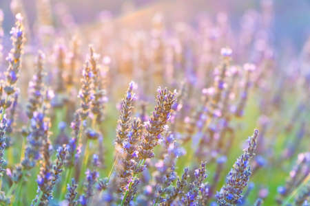 Closeup bushes of purple lavender flowers in summer in Valensole, Provence.