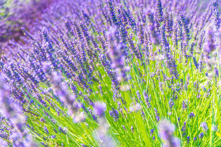 Closeup bushes of lavender flowers in summer near Valensole, France.