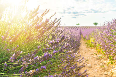 Lavender field summer sunset landscape in Valensole, Provence Stockfoto