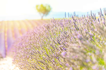 Lavender field at sunset, lonely tree in background. Valensole Plateau, Provence