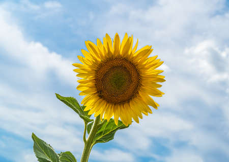 Beautiful sunflower with a cloudscape on background