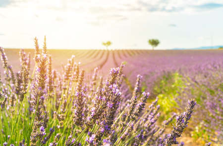 Closeup lavender field summer sunset landscape in Valensole, Provence, France