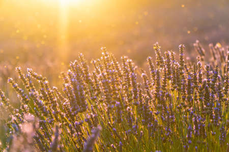 Closeup Lavendelfeld Sommer Sonnenuntergang Landschaft in der Nähe von Valensole, Provence, Frankreich