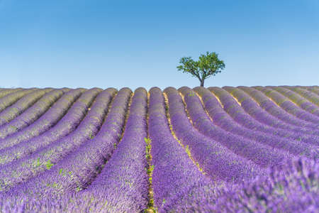 Lavender field at sunset, lonely tree in background. Valensole Plateau, Provence, France