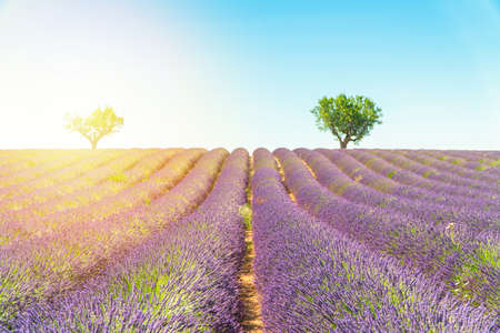 Lavender field at sunset, lonely trees in background. Valensole Plateau, Provence, France Banco de Imagens